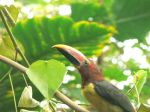 This green aracari barely stayed still long enough to snap a pict.