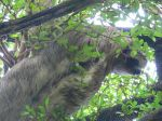 Though he was slower than molasses in January, this 3-toed sloth was a little elusive for a photo op.