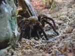 A really huge Bird-eating spider. Yikes!