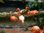 Colorful flamingoes preen, eat, and fuss with each other.