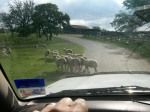 Get out of the road, sheep!